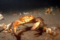 Velvet swimmer / Devil crab. Firth of Forth. Nikon D70 by Grant Kennedy 